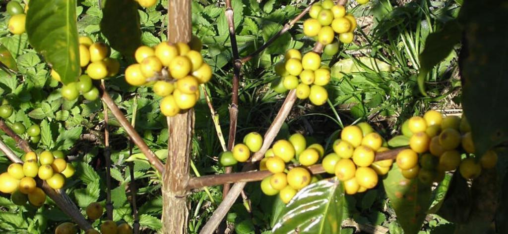 Bourbon jaune arabica